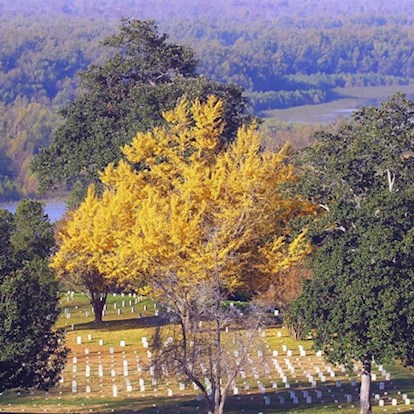 Tree at historic site Vicksburg National Cemetery in Vicksburg, MS